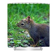 Douglas Squirrel  Shower Curtain