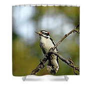 Downy Woodpecker In Fall Shower Curtain