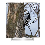 Downy Woodpecker Shower Curtain
