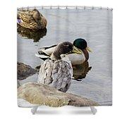 Duck, Duck Shower Curtain