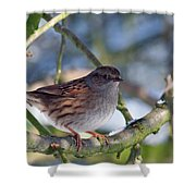 Dunnock On A Snowy Day In Winter Shower Curtain