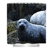 Dunvegan Loch With A Group Of Harbor Seals Shower Curtain