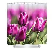 Dutch Tulips 2016 - Part One Shower Curtain