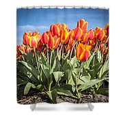Dutch Tulips Second Shoot Of 2015 Part 3 Shower Curtain
