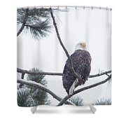 Eagle In A Pine Tree Shower Curtain