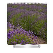 Early Morning Lavender Shower Curtain