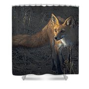 Early Morning Red Fox Prowl Shower Curtain