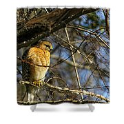 Early Morning Still Hunting  Coopers Hawk Art Shower Curtain