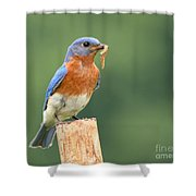 Eastern Bluebird With Caterpillar Lunch Shower Curtain