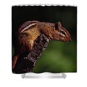 Eastern Chipmunk On Stump Shower Curtain