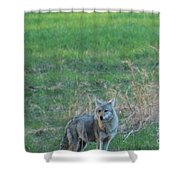 Eastern Coyote In Grass Shower Curtain