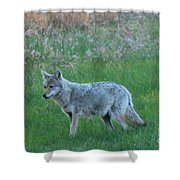 Eastern Coyote In Meadow   Shower Curtain