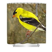Eastern Goldfinch Shower Curtain