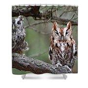 Eastern Screech Owls 424 Shower Curtain