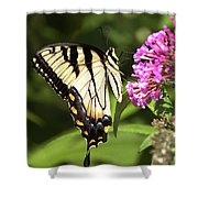 Eastern Triger Swallowtail Shower Curtain