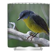 Eastern Yellow Robin Shower Curtain