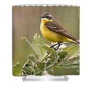 Eastern Yellow Wagtail Shower Curtain