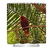Eclectus Parrot 2 Shower Curtain