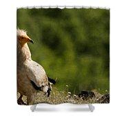 Egyptain Vulture  Shower Curtain