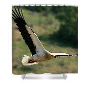 Egyptain Vulture In Flight  Shower Curtain