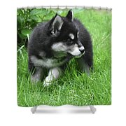 Eight Week Old Alusky Puppy On A Summer Day Shower Curtain