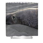 Elephant Seal 5 Shower Curtain