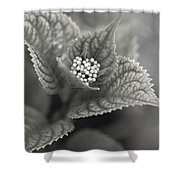 Emerging Hydrangea Shower Curtain