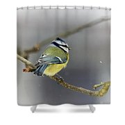Eurasian Blue Tit With Snow Shower Curtain