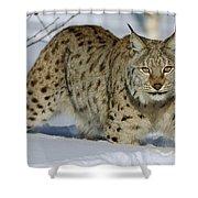 Eurasian Lynx  In Snow Shower Curtain