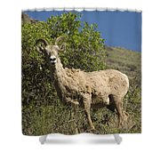 Ewe 3 Shower Curtain