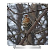 Eye-contact With The Rare - Orange Phase - House Finch Shower Curtain