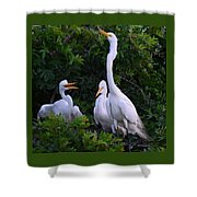 Feeding Time In The Great White Egret Rookery Shower Curtain