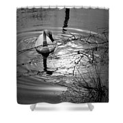 Feeding Trumpeter Swan In Black And White Shower Curtain