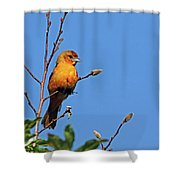 Female Baltimore Oriole Shower Curtain