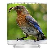 Female Bluebird Feeding Her Brood Shower Curtain