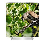 Female Cooper's Hawk Feeding Shower Curtain