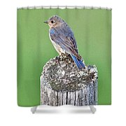 Female Eastern Bluebird 4479 Shower Curtain