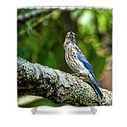 Female Eastern Bluebird Portrait Shower Curtain