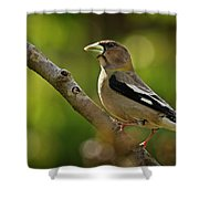 Female Evening Grosbeak - 365-55 Shower Curtain