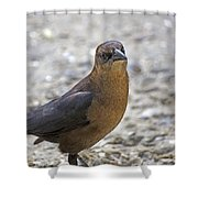 Female Grackle With Attitude Shower Curtain