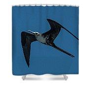 Female Great Frigatebird Flyng Overhead Near Fernandina Island Galapagos Islands Shower Curtain
