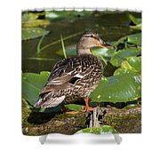 Female Mallard Among Lily Pads Shower Curtain
