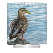 Female Mallard At The River Shower Curtain
