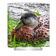 Female Mallard Duck Resting 4 Shower Curtain
