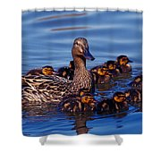 Female Mallard Duck With Chicks Shower Curtain