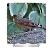 Female Northern Cardinal  Shower Curtain