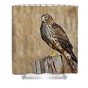 Female Northern Harrier Standing On One Leg Shower Curtain
