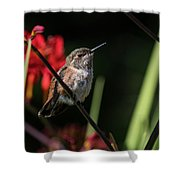 Female Rufous Hummingbird Shower Curtain