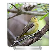 Female Scarlet Tanager Shower Curtain