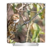 Ferruginous Pygmy-owl Shower Curtain